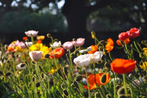Bed of poppies at a local park