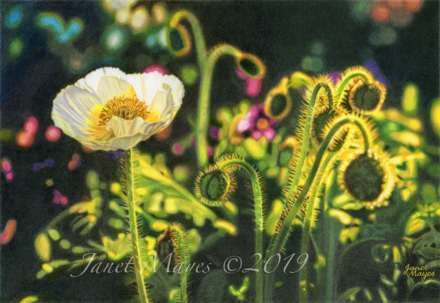 whitepoppy72dpiwatermarked